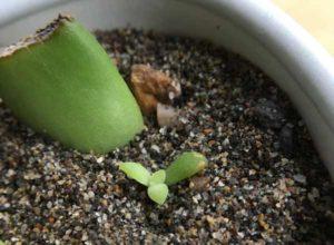 多軸植物セダムの葉挿し